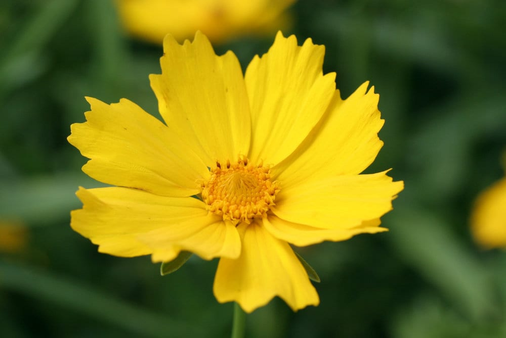 Coreopsis Walberton's® Flying Saucers – British bred, grown and sold