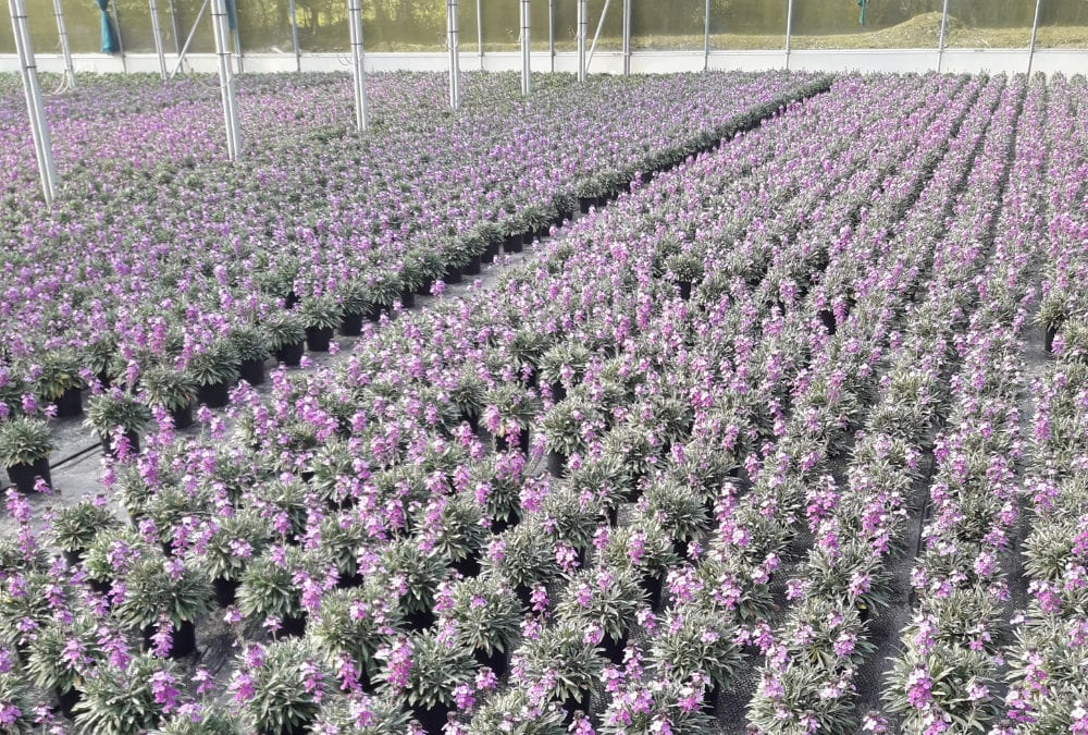 Purchase of Star Plants by Fleurie Nursery Limited