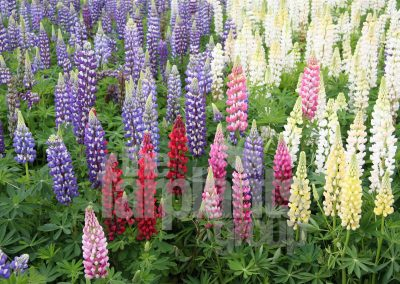 Gallery Lupins